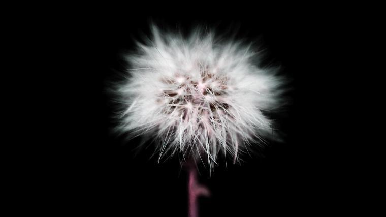 Dandelion Black And White Wallpaper White dandelion in black
