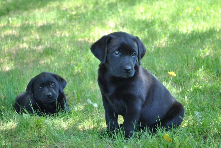 Black Lab Puppy Images wallpaper Black Lab Puppy Images hd wallpaper