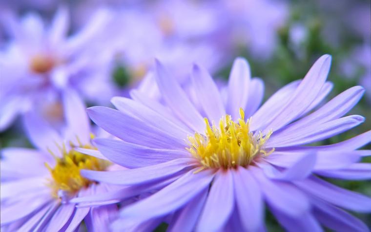 Pretty Violett Flowers Wallpapers HD Wallpapers