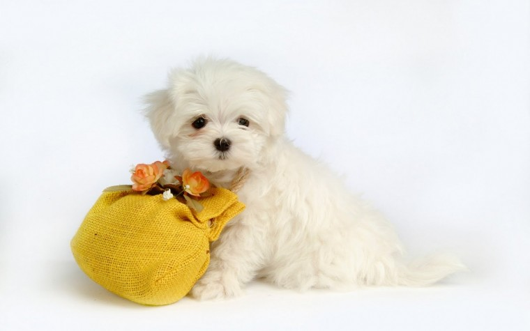 Cute Puppy Wallpaper   Wide1680x1050 Hd Desktop Wallpaper