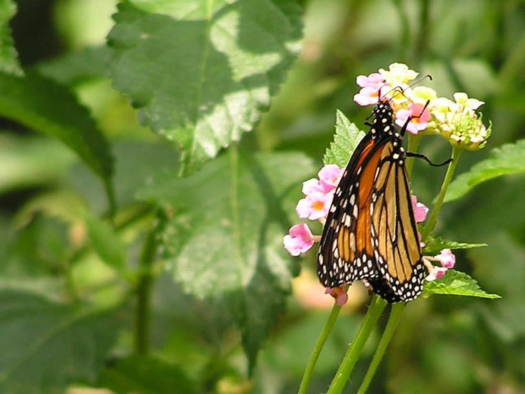 Funny Pictures Gallery Monarch butterfly wallpaper