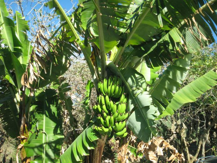 banana tree 300x225 Ecuador and Ohio in Photos Commonalities