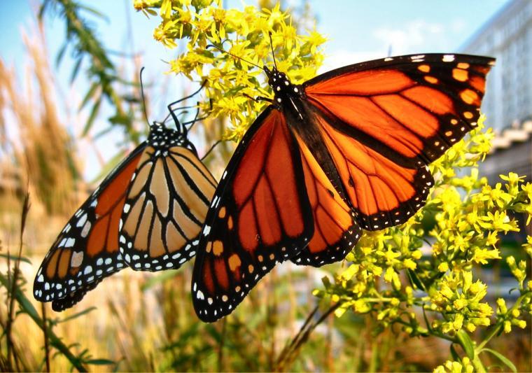 Monarch Butterfly 13 Widescreen Wallpaper   Hivewallpapercom