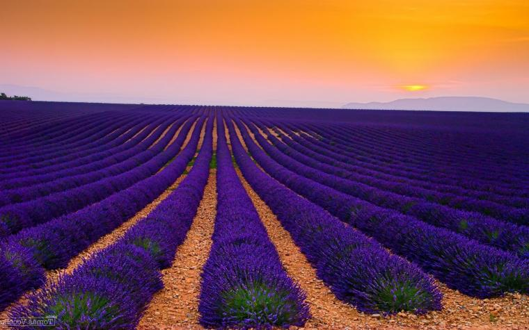 Lavender field wallpaper 28955