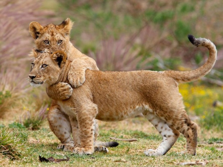 Lion Cubs Wallpapers HD Wallpapers Pictures Images Backgrounds