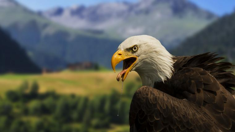 Bald Eagle 4K Wallpaper Full 1080p Ultra HD Wallpapers
