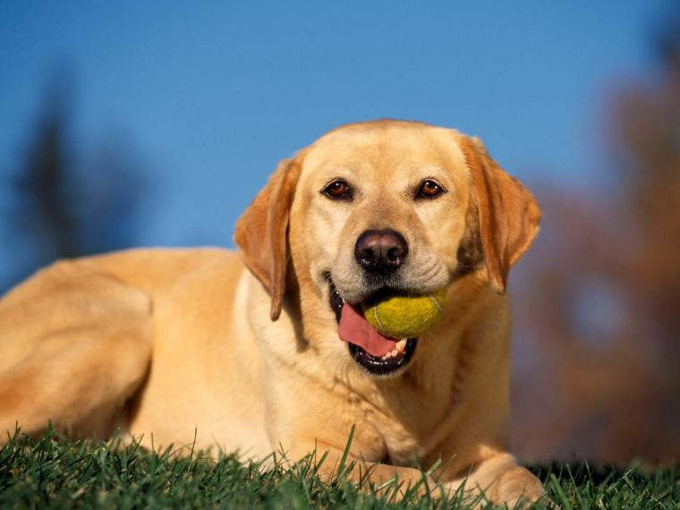 Break Time Yellow Labrador Wallpapers HD Wallpapers