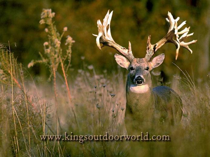 Deer Wallpaper Deer Wallpaper Deer Desktop