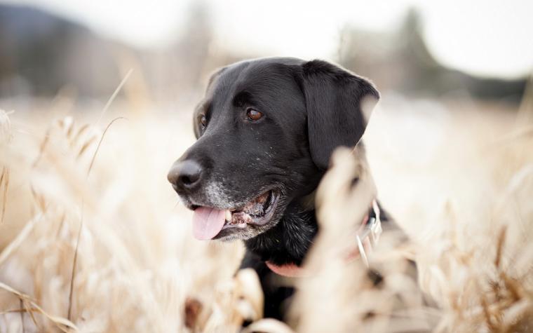 Labrador wallpaper 223907