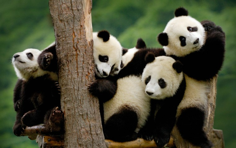 Panda pandas baer bears baby cute 3 wallpaper 2880x1800 364431