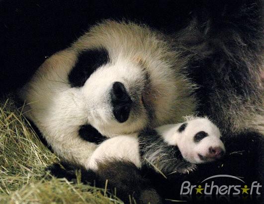 Download Panda Bear Screensaver 5 Panda Bear Screensaver 5 10