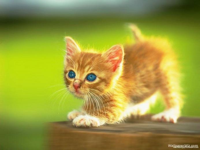 Wallpapers For Cute Kitten Wallpapers For Desktop
