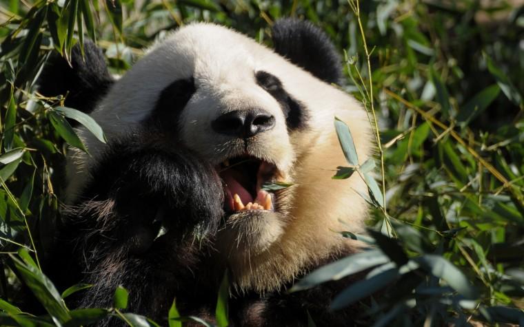 funny panda Bear Wallpaper Desktop panda bear funny