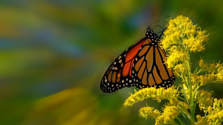 Zoom Monarch Butterfly HD Wallpaper Flickr   Photo Sharing