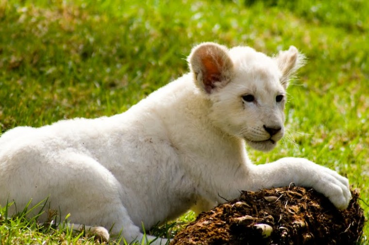 Desktop Background Wallpapers Cute White Lion Cubs Wallpapers
