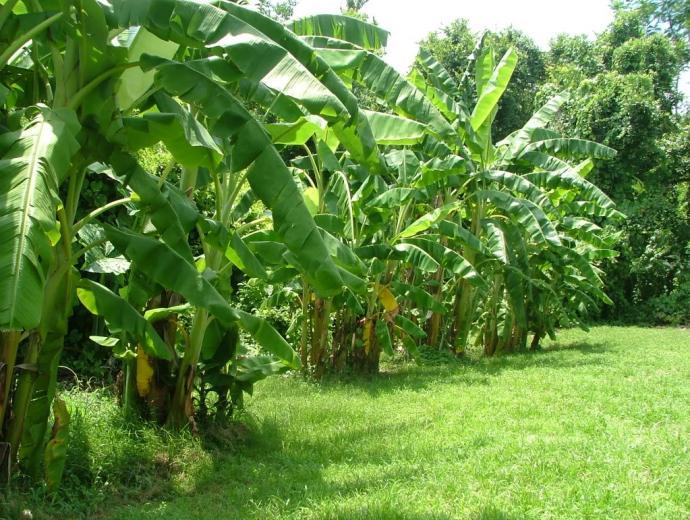 banana tree groves Image