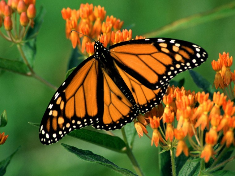 monarch butterfly wallpaper with the title Monarch butterfly wallpaper