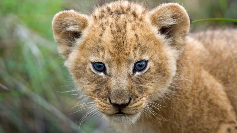 Beautiful Cute Lion Cub Closeup Face HD Wallpapers HD Wallpapers