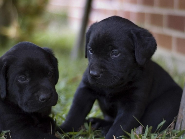 Download 1280x960 Two Black Lab Puppies Wallpaper