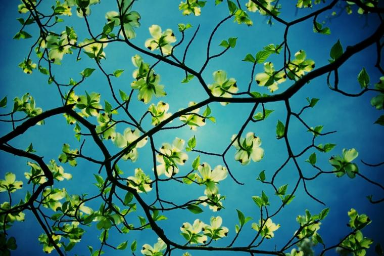 Dogwood Tree Desktop   HD Flower Wallpapers   Dogwood Tree Desktop