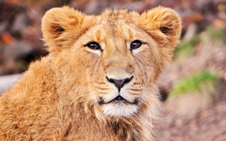 of this cute lion cub 1920x1200 wallpaper download page 990358