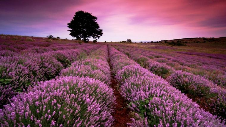 Beautiful Lavender Field Wallpaper HD Wallpaper