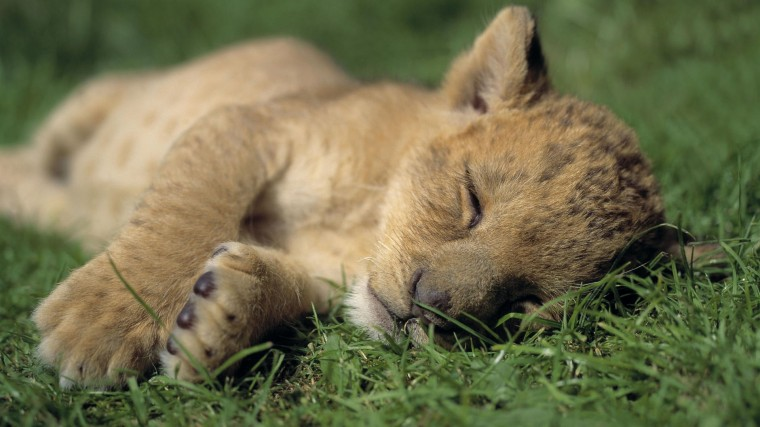 Cute Baby Lion Cub Sleeping Nicely HD Wallpaper HD Wallpapers