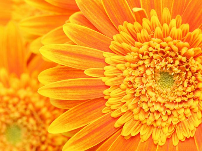 Golden Flower desktop wallpaper Golden Flower Plant desktop background