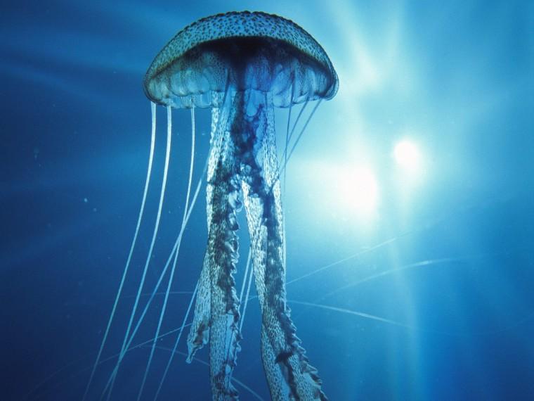 Jellyfish Wallpapers wallpaper electric jellyfish wallpaper