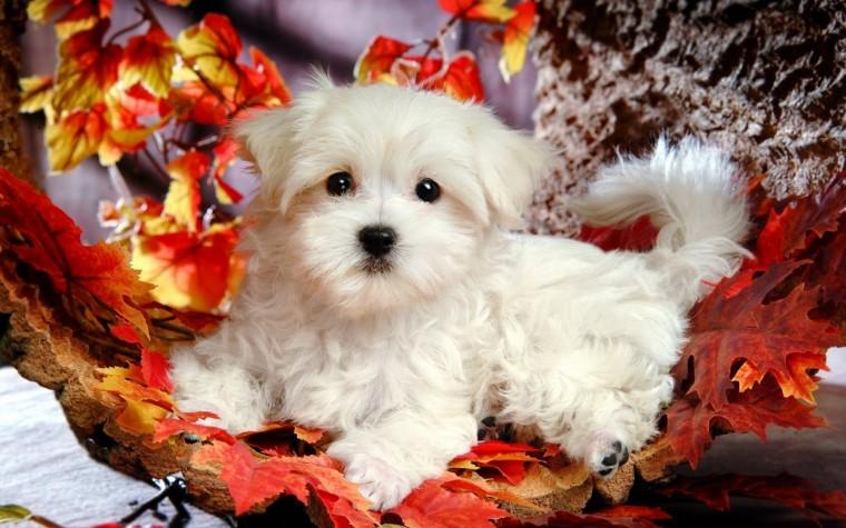 Cute Puppy Wallpaper   Wide1680x1050 Hd Wallpaper