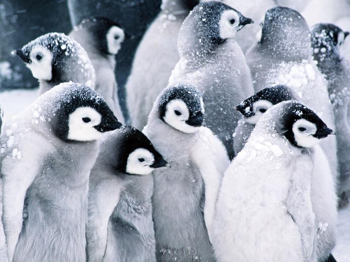 Cute Baby Penguins wallpaper 1600x1200 45966