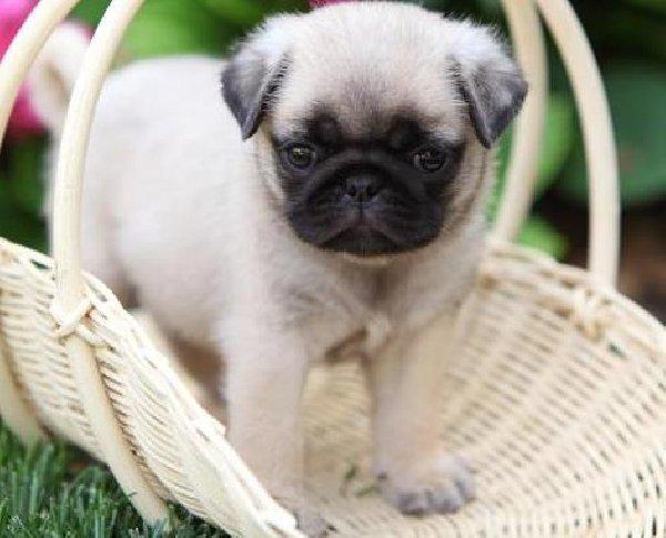 Pug Puppies For Sale 9 Background Wallpaper   DogBreedsWallpaperscom