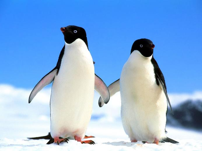 Cute Baby Penguins Wallpaper Images amp Pictures   Becuo