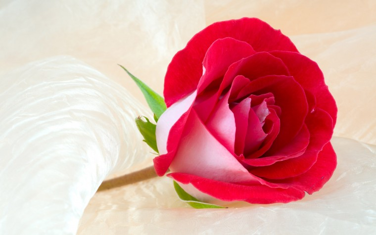 Rose Flower Most Beautiful Widescreen HD HD Wallpapers Rocks