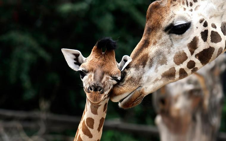 Cute wallpaper of giraffes HD Animals Wallpapers