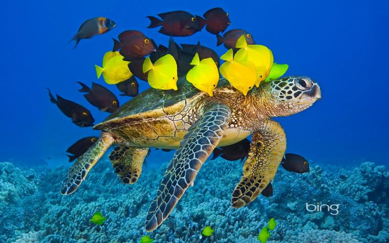 Sea turtle with the fishes wallpapers and images   wallpapers