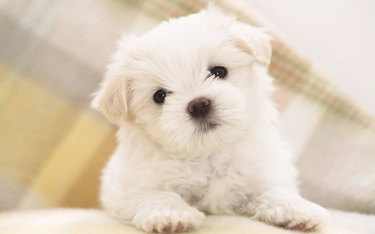 Maltese Puppy Wallpapers HD Wallpapers