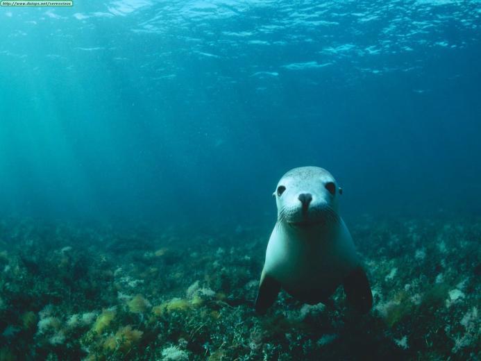 Sea Lion underwater wallpaper