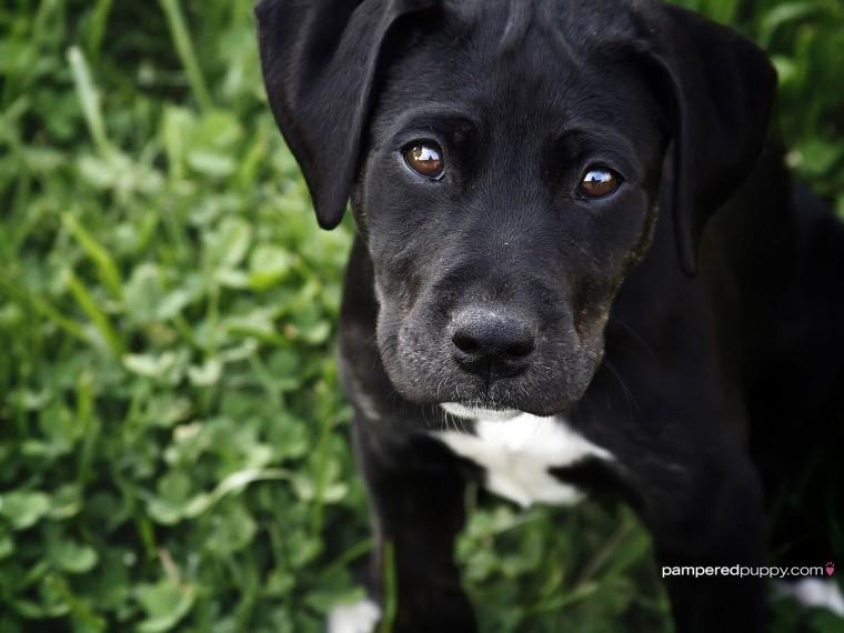 Black Labrador Retriever puppy   Dogs Wallpaper 13518444