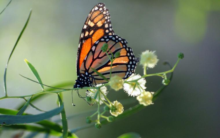 Monarch Butterfly Wallpapers