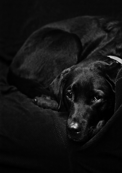 free black wallpaper Black Lab Wallpaper