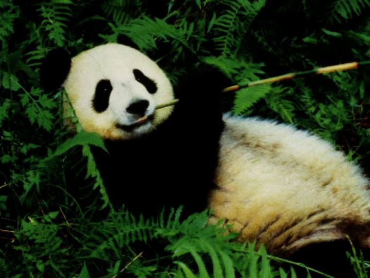Beautiful Panda Bear Wallpapers Desktop HD