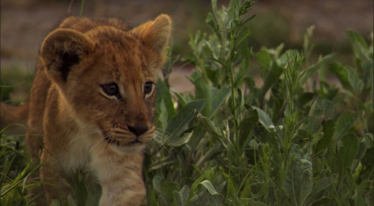 Lion Cub wallpaper   Click picture for high resolution HD wallpaper