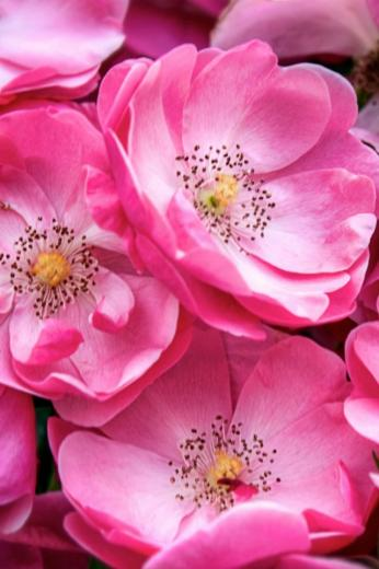 Beautiful Wild Roses Mobile Wallpaper   Mobiles Wall
