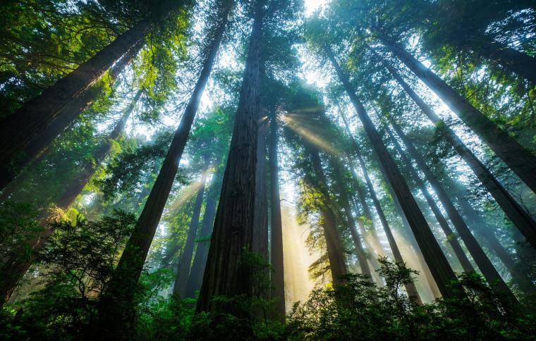 Wallpaper forest the sun light trees CA USA Sequoia Redwood
