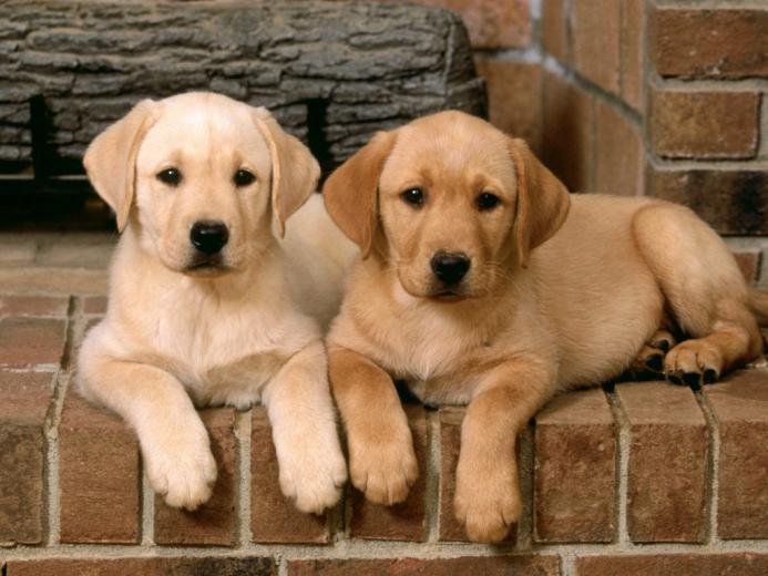 Labrador Retriever Dog Breeders Profiles and Pictures Dog Breeders