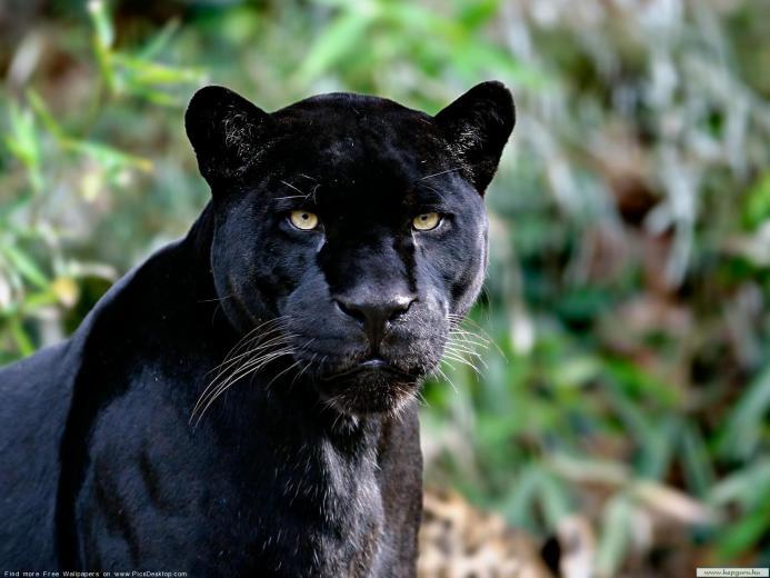 Black panther   Wild Animals   Desktop Wallpaper picture 46