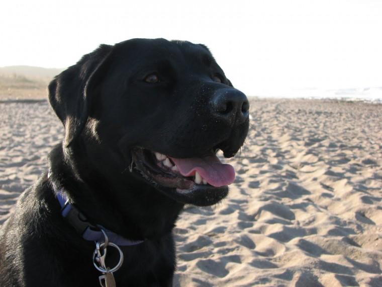 black labrador dog animals wallpapers dogs wallpapers black labrador