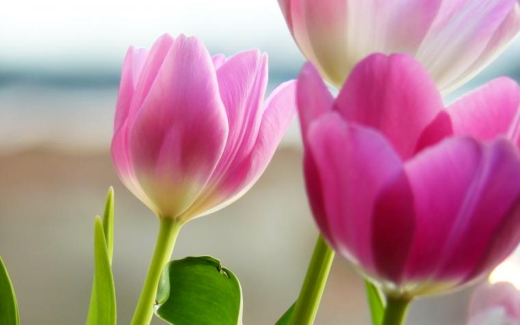 wallpaper widescreen definition high tulip
