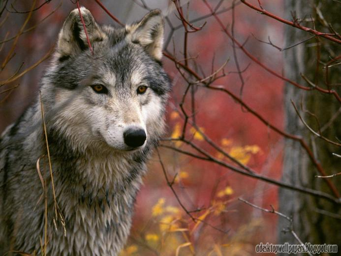 Wolf Animal Desktop Wallpapers PC Wallpapers Wallpaper